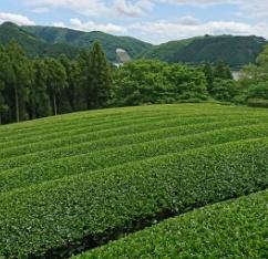 茶畑の様子